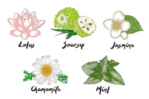 Vetor gravado ervas orgânicas, especiarias e flores