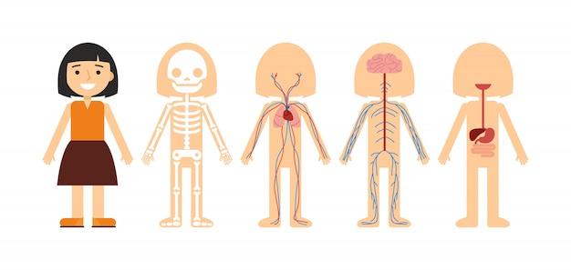 Vetorial, ilustração, de, anatomia corpo