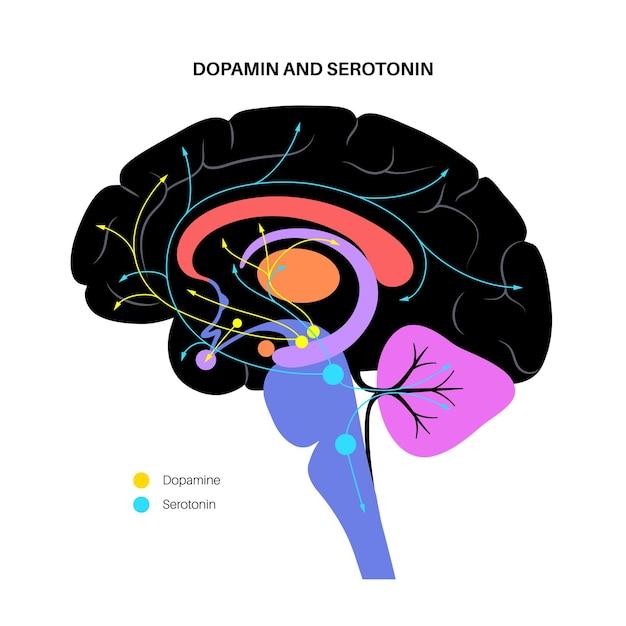 Via dos hormônios dopamina e serotonina no cérebro humano. vetor plano do neurotransmissor monoamina