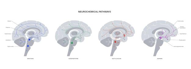 Via neuroquímica no cérebro. diagrama de serotonina, dopamina, acetilcolina e norepinefrina