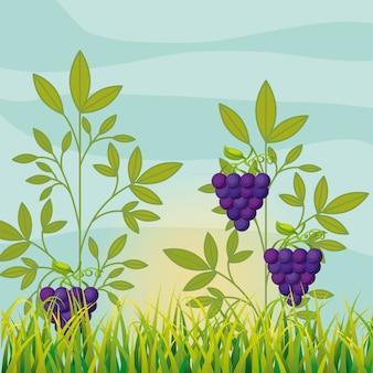 Vinhedo de agricultura com uvas maduras