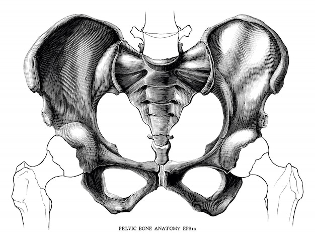 Vintage de anatomia do osso pélvico gravura ilustração isolado no fundo branco
