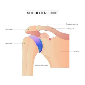 Vista anterior da ilustração vetorial de anatomia do ombro com títulos e localização dos ossos