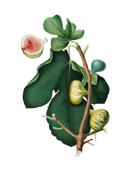 White-peel fig from pomona italiana illustration