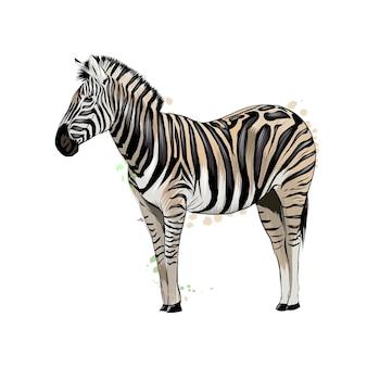 Zebra de um toque de aquarela
