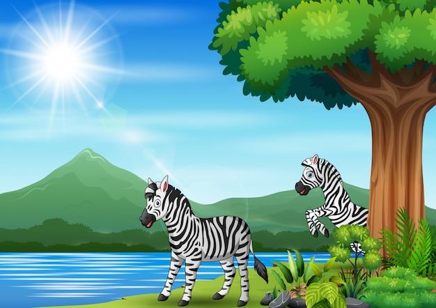 Zebra dois jogando na selva