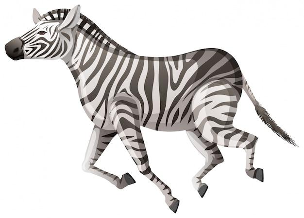 Zebra selvagem correndo em branco