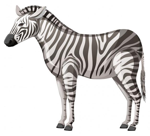 Zebra selvagem em pé sozinho no fundo branco