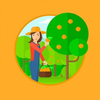 Agricoltore che raccoglie arance.