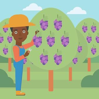 Agricoltore che raccoglie uva