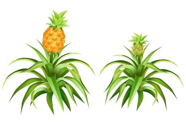 Albero di ananas con frutti e foglie