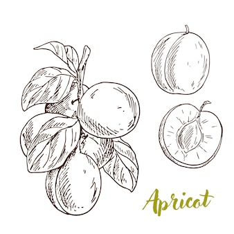 Albicocche, ramo con foglie, metà del frutto