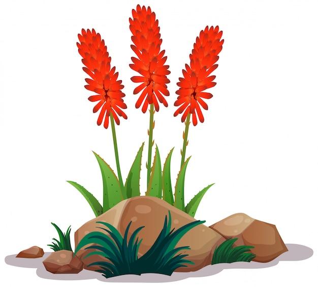 Aloe vera con fiori su sfondo bianco