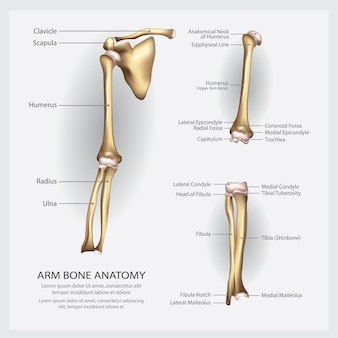 Anatomia dell'osso del braccio con illustrazione di dettaglio