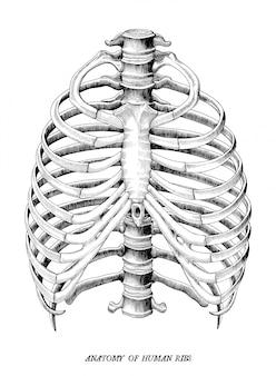 Anatomia della mano umana delle costole disegna clipart d'annata isolata su fondo bianco