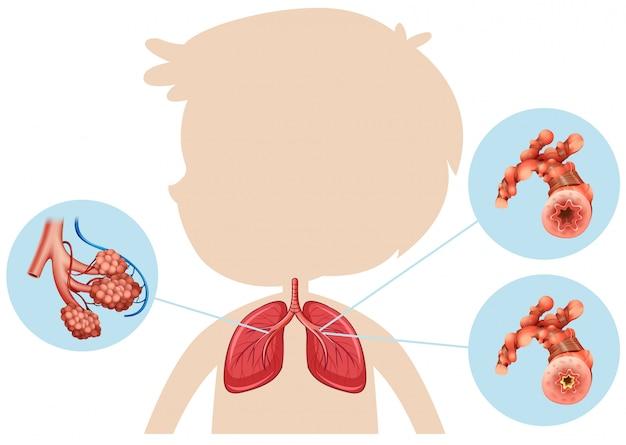 Anatomia di un polmone del ragazzo