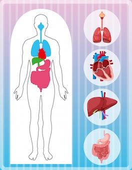 Anatomia umana con molti organi