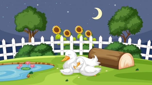 Anatra sveglia che dorme sull'erba