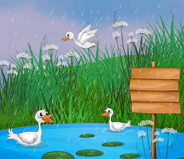 Anatre che giocano sotto la pioggia