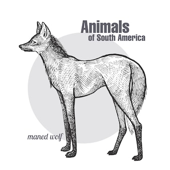Animali del sud america maned wolf.