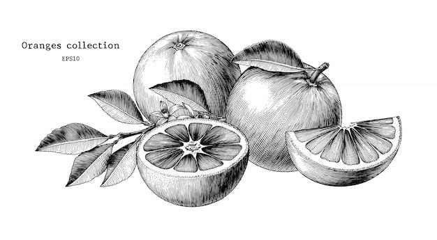 Annata di tiraggio della mano della raccolta delle arance isolata su fondo bianco