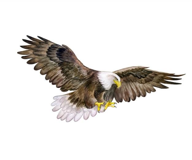 Aquila testa bianca. acquerello. bald eagle bird.