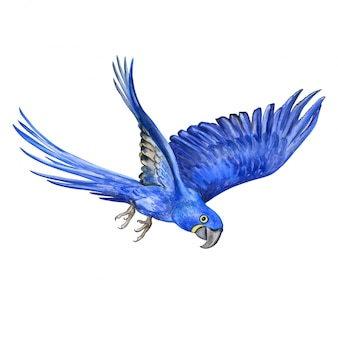 Ara giacinto. pappagallo volante