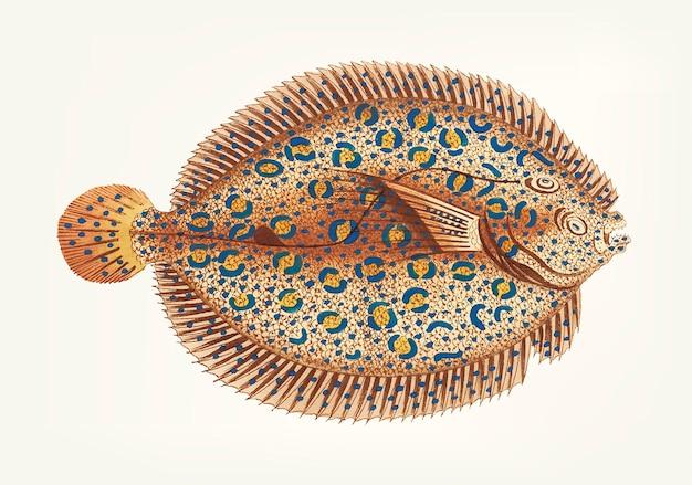Argus flounder disegnato a mano