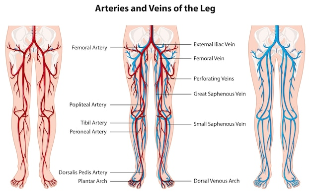 Arterie e vene della gamba