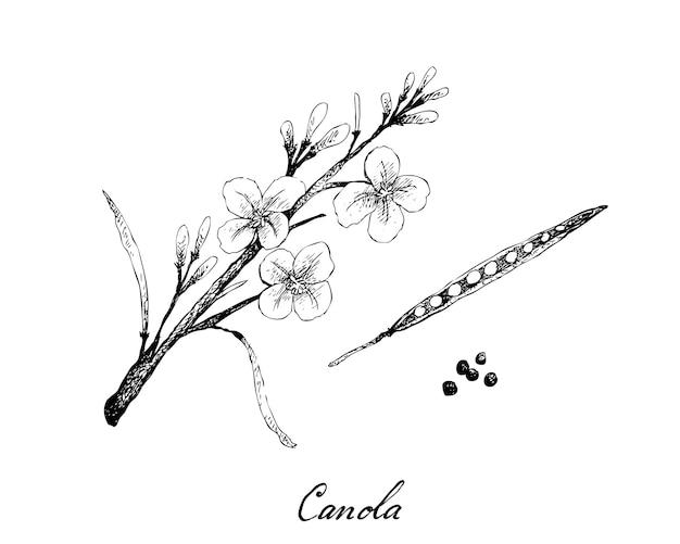 Baccello e seme di canola disegnati a mano