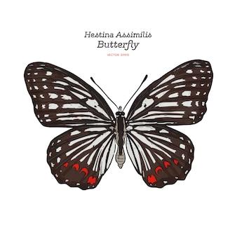 Bella colorata farfalla hestina assimilis