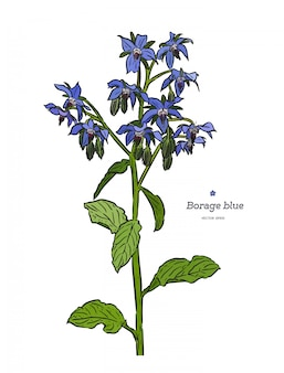 Borragine (borago officinalis), o schizzo disegnato a mano di stelle. erbe e spezie medicinali vintage. insieme retrò di fiori e boccioli blu. vettore colorato botanico