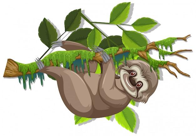 Bradipo sveglio che appende sul ramo su bianco