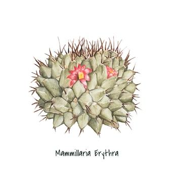 Cactus del puntaspilli di mammillaria erythra disegnato a mano