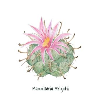 Cactus di puntaspilli di mammillaria wrightii disegnato a mano