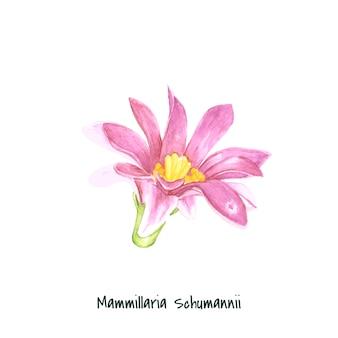 Cactus di spillone di mammillaria schumannii disegnato a mano