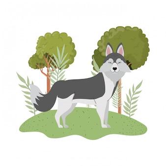 Cane sveglio del siberiano del lobo su bianco