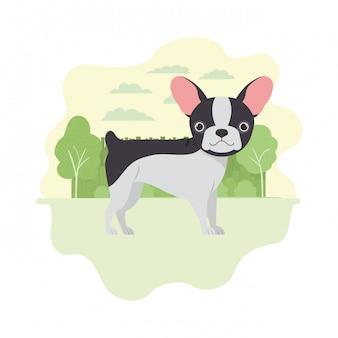 Cane sveglio di boston terrier su bianco