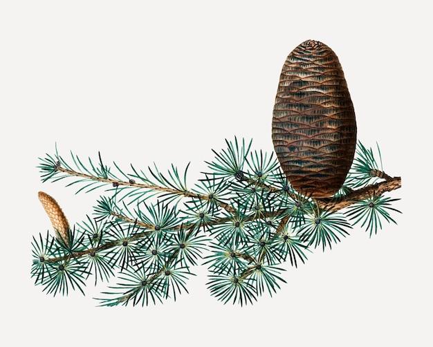 Cedro del libano e cono di conifere
