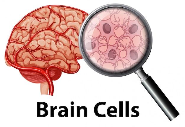Cellula del cervello umano su backgrounf bianco