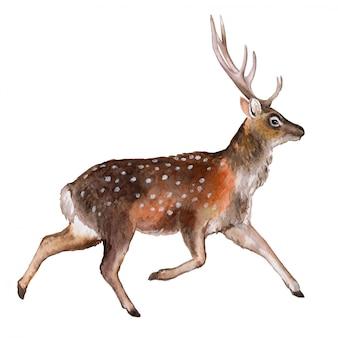 Cervo maculato. acquerello