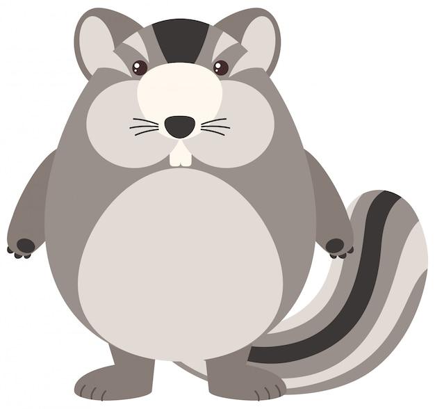 Chipmunk grasso su sfondo bianco