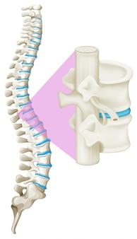 Chiuda sull'osso della colonna vertebrale