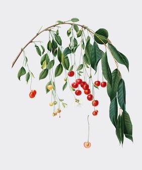 Ciliegie visciola dall'illustrazione di pomona italiana