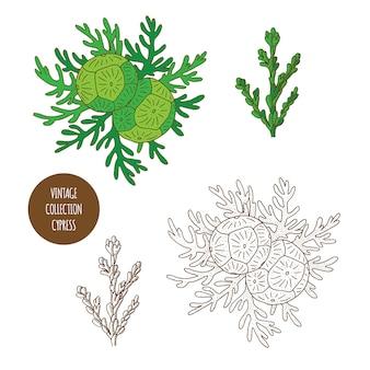 Cipresso. insieme disegnato a mano di vettore delle piante cosmetiche isolato su fondo bianco
