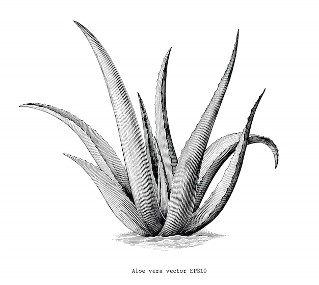 Clip art botanica d'annata di tiraggio della mano di vera dell'aloe isolata su fondo bianco