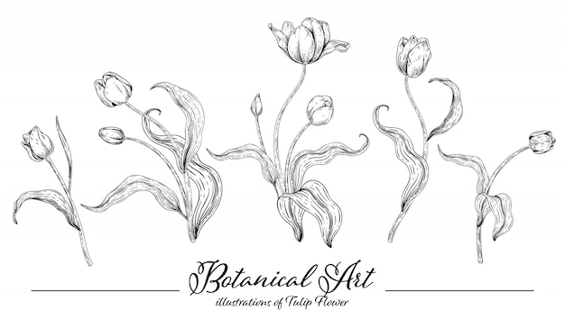 Collezione di botanica floreale schizzo, disegni di fiori di tulipano.