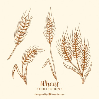 Collezione di grano disegnato a mano