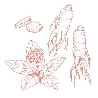 Collezione di piante di ginseng disegnata a mano realistica