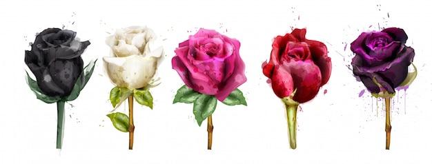 Collezione di rose dell'acquerello